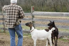 Allan with some interested goats at Woodcrest Farm.