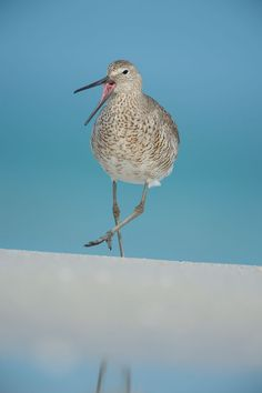 Moose Peterson photo of a Willet bird