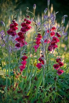 PETTIFERS GARDEN, OXFORDSHIRE. GLADIOLUS PAPILIO 'RUBY' IN A BORDER WITH SANGUISORBA AND ACHILLEA. FLOWER, RED, BULB. Clive Nichols Photography.