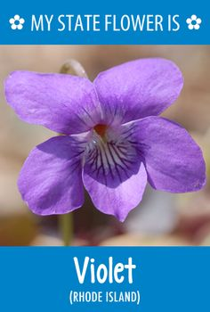 Rhode Island's state flower is the Violet. What's your state flower? http://pinterest.com/hometalk/hometalk-state-flowers/     #VisitRhodeIsland