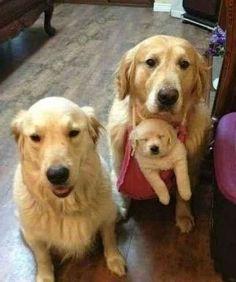 family pictures, family pics, anim, golden retrievers, family portraits, family photos, happy dogs, puppi, families