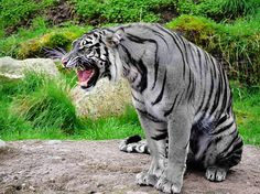 Even Rarer than the Golden Tiger this is the Maltese Tiger thought to be extinct.