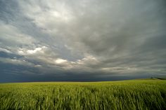 Thunderstorm and wheat field, Barton County, KS.