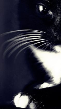 black and white cat   Very cool photo blog