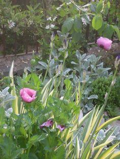 poppies, lamb's ear, iris