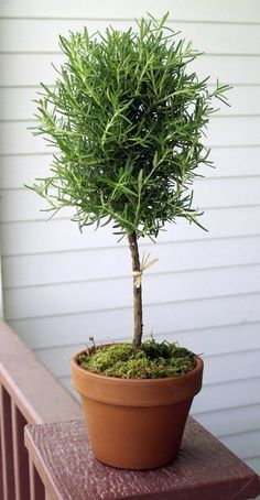 Rosemary Topiary #topiary #rosemary
