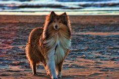 Beautiful sheltie at sunset