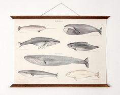 SALE 35 Whales A3 poster  vintage educational chart by ARMINHO