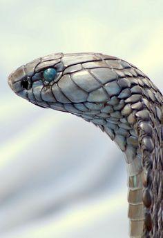 Cobra / Close Up