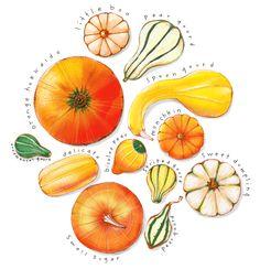 Pumpkin time. GOURD GUIDE. juli douglas Illustration   julidouglas.com