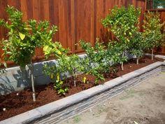 Backyard farming-fruit trees along fence? I did this.... so glad I did!!