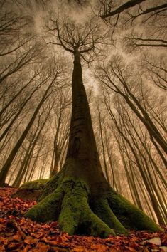 The amazing beech tree. | See More Pictures