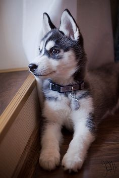 How adorable! A Siberian Husky puppy!  None for me, unfortunately, since I live in Florida - the poor thing would melt!