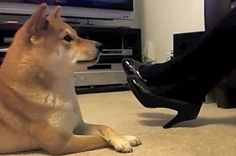 #Products cat, anim, puppies, shiba inu, funny pictures, pet, funny stuff, dog videos, blog