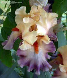 Tall Bearded Iris 'Rio'
