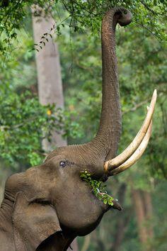 Elephant by Sandeep Dutta