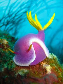 purple sea slug