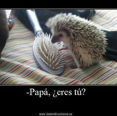 Papá, ¿eres tú via friendburst #Humor #Hedgehog