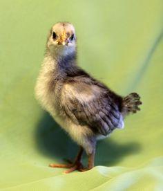 Chicks - Nila - Blue Andalusian