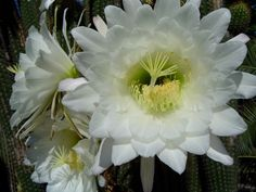 Cactus flower by Sheran Clark