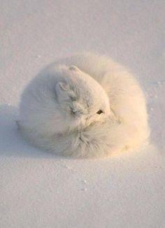 Arctic Fox?