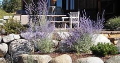 The Russian sage seems to light up under the hot mid-day sunshine. Love them with the little pine and the smooth stonework. Design by Peak Landscape Inc in Truckee, CA.