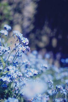 Alaska state flower // Forget-Me-Not