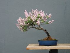 Lilac in the slant style flowering in Spring | Flickr - Photo Sharing!
