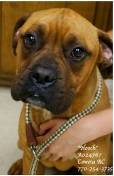 EXTREMELY URGENT! LAST CHANCE! THIS PET WILL BE EUTHANIZED WEDNESDAY 6-12-13!                                ~HOOCH Boxer , Male, 3 Years, Medium,  Weight: 61 lbs ID:A024767 Vaccinated, Heartworm POSITIVE (treatable) PLEASE CONTACT COWETA COUNTY ANIMAL CONTROL TO ADOPT THIS PET: 770-254-3735.  The address is 91 Selt Road, Newnan, GA.