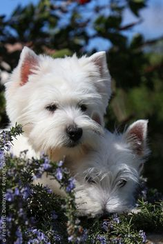 WEST HIGHLAND WHITE TERRIERS - MY PATRICK OF DONEGAL AND LADY OF COUNTY DOWN