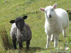 yep there are sheep