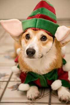 Quadratic Elfin Powers | Adorable Pembroke Welsh #Corgi - with four perfect ears - in elf costume, via Flickr - Photo Sharing! © Joey Rozier