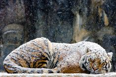 Tiger sleeping in the snow