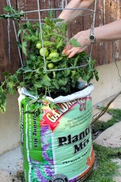 A better way of planting tomatoes in the bag! Never thought to turn it up like this.
