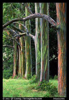 Rainbow Eucalyptus trees. Maui, Hawaii, USA (color)
