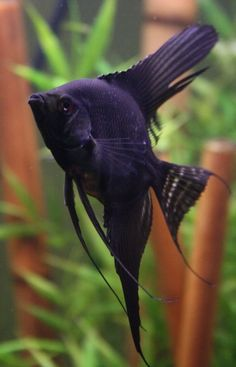 Purple Fish!