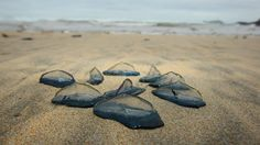 Millions of jellyfish-like creatures wash up on western U.S. beaches
