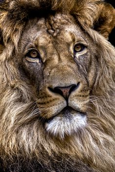 Lion by Ander Aguirre.../ new thought..time is showing on this facinating animals face...and it is beauty and wear...hope his travels are and were good.