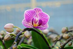 Miniature Purple Orchid miniatur