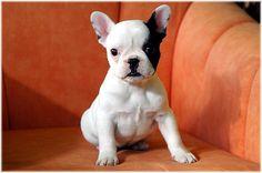 french bulldog puppy // black & white