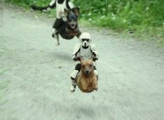 Storm Troopers on Weenie Dogs funny animals, min pins, funny star wars, weenie dogs, dachshund, dog runs, funny photos, weiner dogs, wiener dogs