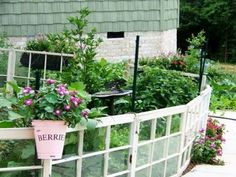 Old windows as garden fence--working on making this happen right now!
