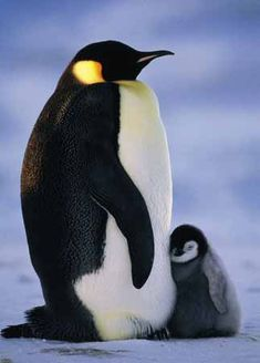 Mother and Baby, Penquins