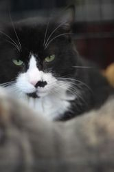 Boots is an adoptable Tuxedo Cat in New York, NY. 3 year old Boots is just the sweetest boy. Gentle and calm and shy, he really loves and needs feline companionship. When he joins us at adoption event...