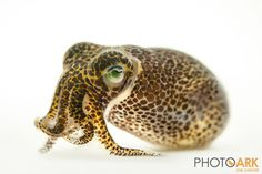 Bobtail squid by Joel Sartore.