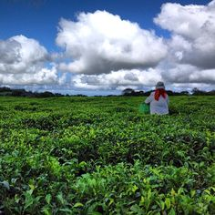picking of tea leaves, still done by hand