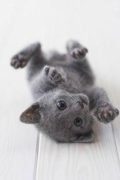 Russian Blue cat = love