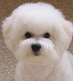 Puppy cut - think ROUND head