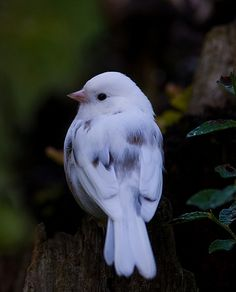 ~ Leucistic Dark-Eyed Junco ~
