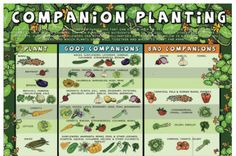 Gardening: Companion Planting Chart In natural ecosystems plants perform functions that can either help or prevent other plants to grow. The same is true in our gardens!